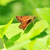 Large Skipper _MG_2180 Large Skipper